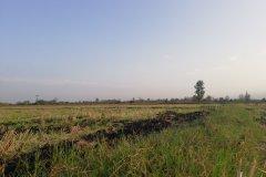 شالیزار برنج ۵ هزار متر