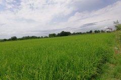 زمین شالیزار برنج