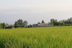 شالیزار برنج هکتاری