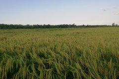 شالیزار کشاورزی