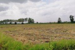 زمین برنجکاری هکتاری