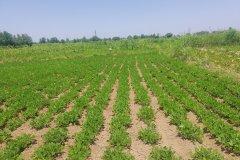 باغ صیفی بادام زمینی