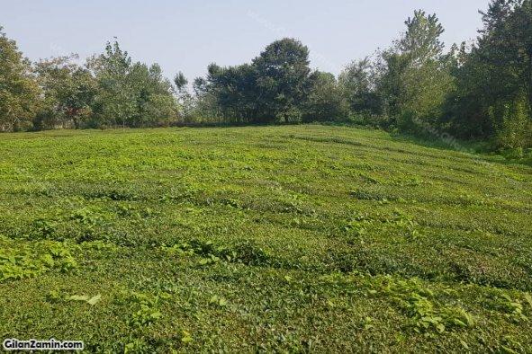 باغ چای با کاربری مسکونی