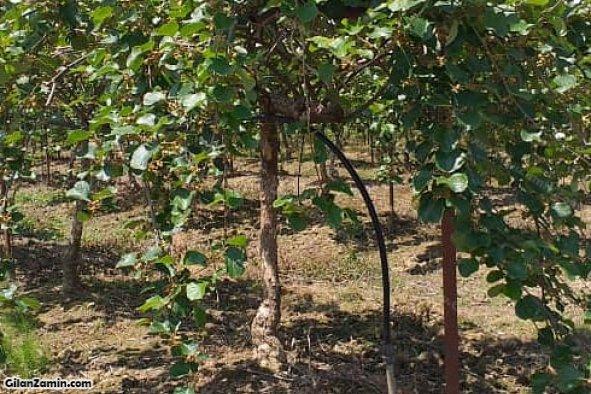 نمای نزدیک یکی از درختان کیوی