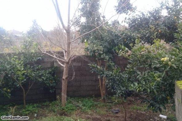 درخت مرکبات در حیاط